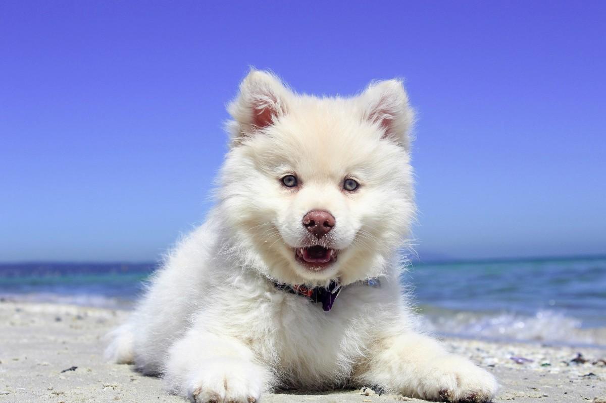 chien-blanc